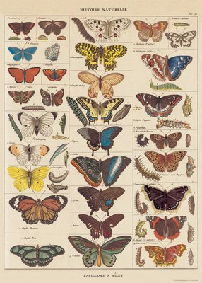 Image for Decorative Wrap 20X28 Nat History Butterflies